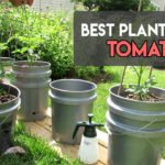 8 Best Planters for Tomatoes to Use for Home-Grown food