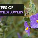13 Types of Purple Wildflowers in UK, US, Texas, California and Much More