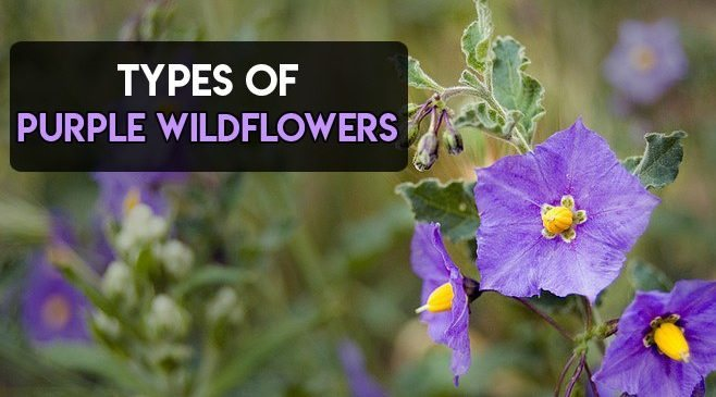 Purple Wildflowers 13 Types In Uk Usa Texas California More