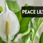 Watering Peace Lilies [The Right Way + Right Time]