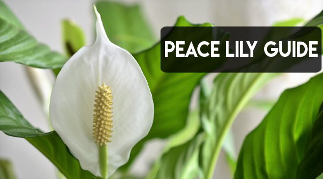 how often to water peace lilies