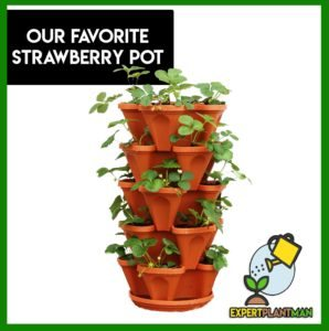 growing strawberries in pots runners