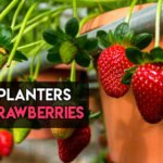7 Best Planters for Strawberries To Choose From [Aesthetic Ones]