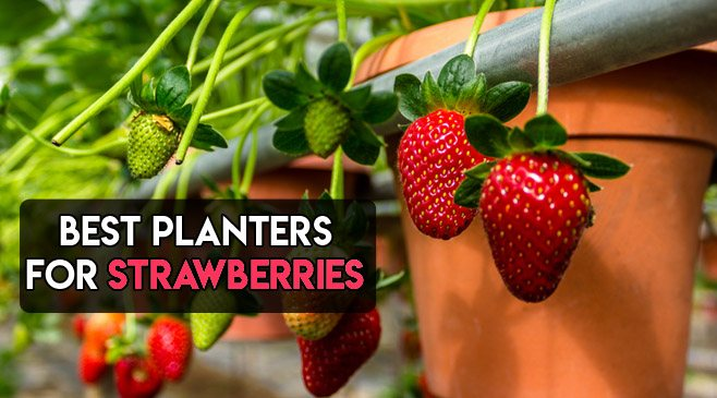 best planters for strawberries