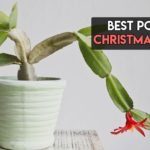 Best Pots For Christmas Cactus To Choose From [Top 6 Reviewed]