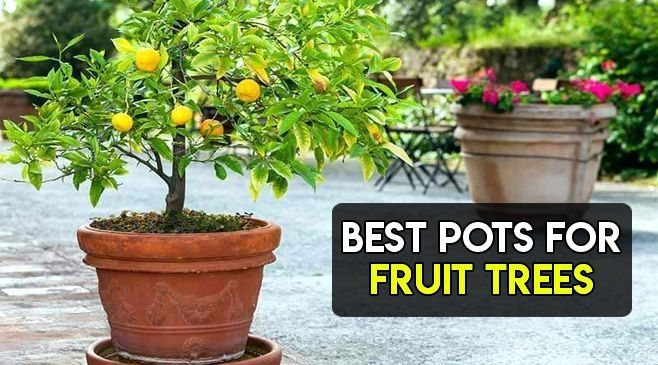 best pots for fruit trees