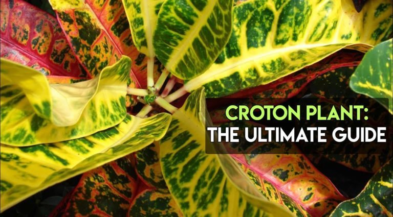 Croton Plant Care – Everything You Need To Know [Ultimate Guide]