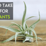 How To Care For Air Plants [Ultimate Guide]