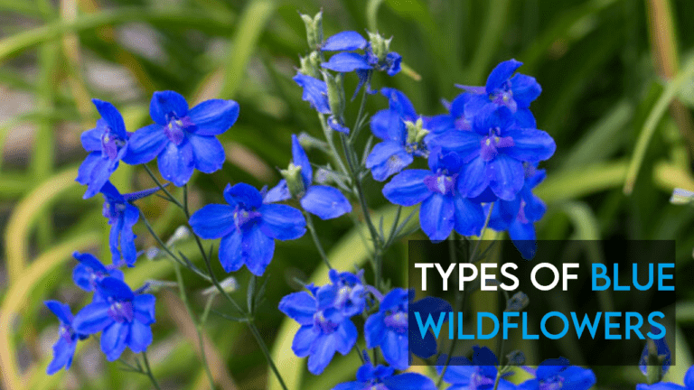 8 Types of Blue Wildflowers in UK, US, Texas, California and Much More