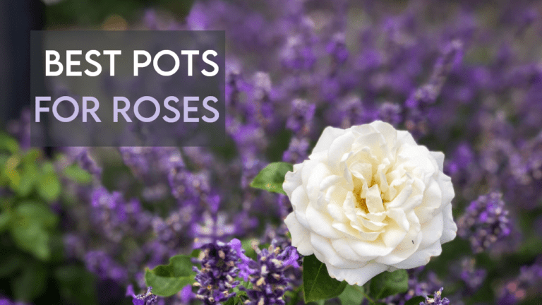 6 Best Pots For Roses To Get Online 【Ultimate Guide】