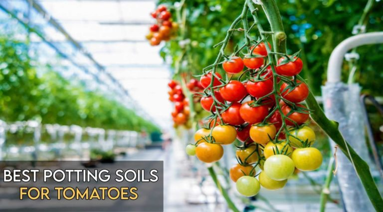 8 Best Soil for Tomatoes in Pots [Top Reviewed]
