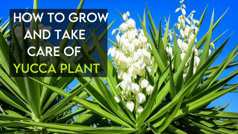 How To Grow And Take Care Of A Yucca Plant【Ultimate Guide】