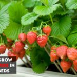 Best Soils For Strawberries In Raised Beds [Top 6 Reviewed]