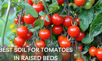 Best Soil for Tomatoes in Raised Beds