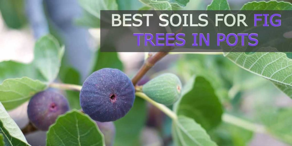 best soil for fig trees in pots