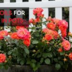 10 Best Soil For Roses In Pots [Latest Guide For 2021]