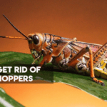 How to Get Rid of Grasshoppers [Ultimate Guide 2021]